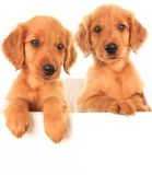 Golden Irish puppies Stock Photos