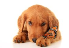 Golden Irish puppy Stock Images