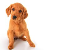 Golden Irish puppy Stock Photo