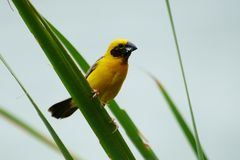 Asian Golden Weaver Island feeds on the nest. Golden island weaving Asian grass on a single day in bright weather Stock Photos
