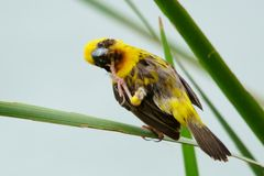 Asian Golden Weaver Island feeds on the nest. Golden island weaving Asian grass on a single day in bright weather Royalty Free Stock Photos