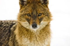 Golden jackal. Close portrait of a golden jackal (Canis aureus royalty free stock photo