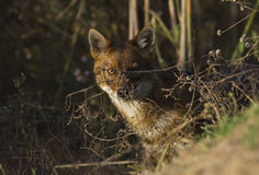 Golden Jackal. A golden jackal is looking through the bushes royalty free stock photos