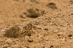 Golden Jackal. Wild Golden Jackal, Negev, Israel Royalty Free Stock Photo