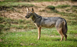Wild Indian Jackal Stock Image