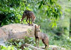 Golden Jackal Asiatic Jackal Canis aureus. In Thailand Royalty Free Stock Image