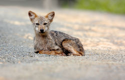 Golden Jackal Asiatic Jackal Canis aureus Royalty Free Stock Photography