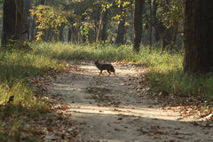 Golden Jackal in Bardia National Park Nepal Stock Photo