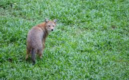 Golden jackal Royalty Free Stock Images