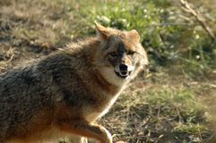 Golden jackal (Canis aureus) Royalty Free Stock Photography