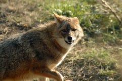 Golden jackal (Canis aureus). A walking European golden jackal Royalty Free Stock Photography