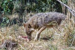 Golden jackal (Canis aureus) royalty free stock image
