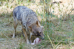 Golden jackal (Canis aureus) Stock Photos