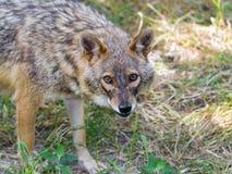 Golden jackal (Canis aureus) Stock Images