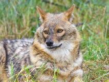 Golden jackal (Canis aureus) Stock Photo