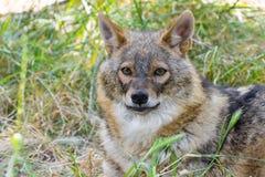 Golden jackal (Canis aureus) Stock Image