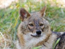 Golden jackal (Canis aureus) Stock Photos