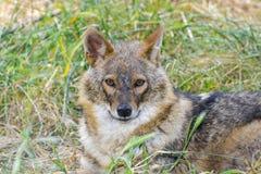 Golden jackal (Canis aureus) Royalty Free Stock Photography