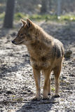 Golden jackal (Canis aureus) Royalty Free Stock Photos