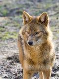 Golden jackal (Canis aureus) Stock Photography