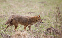 Golden jackal Stock Images