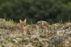 Golden Jackal - Canis aureus stock photography