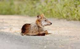 Golden Jackal Canis aureus Stock Images
