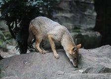 Golden Jackal, Canis aureus moreoticus Royalty Free Stock Image