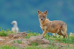 Golden jackal, Canis aureus, with vulture in grassy meadow, Madzharovo, Rhodopes, Bulgaria. Wild dog on rocky meadow. Wildlife sce. Ne from nature royalty free stock photography