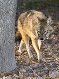 Golden jackal (Canis aureus) Royalty Free Stock Images