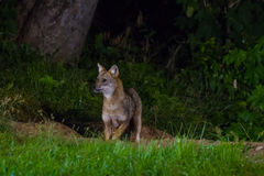 Golden Jackal or fox at nigth