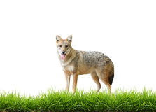 Golden jackal with fresh green grass isolated Stock Images