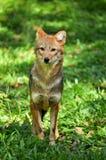Golden jackal Royalty Free Stock Image