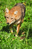 Golden jackal Royalty Free Stock Photo