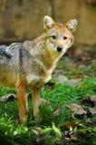 Golden jackal Royalty Free Stock Images
