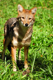 Golden jackal Stock Photos