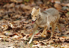 Golden Jackal in Jim Corbett Stock Images