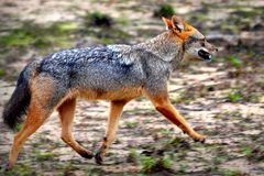 Golden Jackal ,live on flocks ..hunting there is a sharp bite ,eating delicious royalty free stock photography