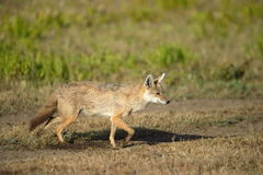 Golden Jackal. On a mission, looking for potential prey Royalty Free Stock Photos