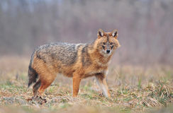 Golden jackal stock image