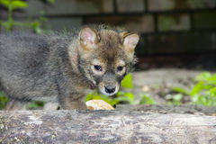 Golden jackal puppy Stock Photo