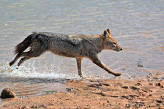 Golden jackal running on the riverside, India Royalty Free Stock Photos