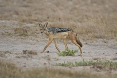 Golden Jackal in the Savannah Royalty Free Stock Image