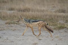 Golden Jackal in the Savannah Royalty Free Stock Images