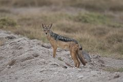 Golden Jackal in the Savannah Stock Images