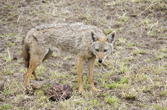 Golden jackal Stock Photos