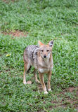 Golden jackal Stock Photo