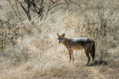 Golden jackal stock photography