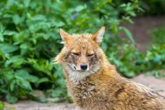 The golden jackal wandered the garden path on a hot summer day Royalty Free Stock Photo