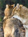 Golden jackals (Canis aureus) Royalty Free Stock Image
